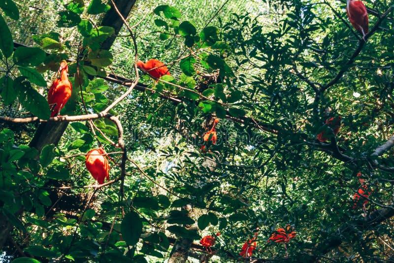 Scarlet Ibis at Parque das Aves. Foz do Iguacu, Brazil stock image