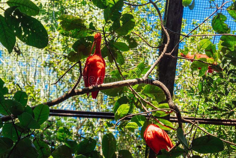Scarlet Ibis at Parque das Aves. Foz do Iguacu, Brazil royalty free stock photos