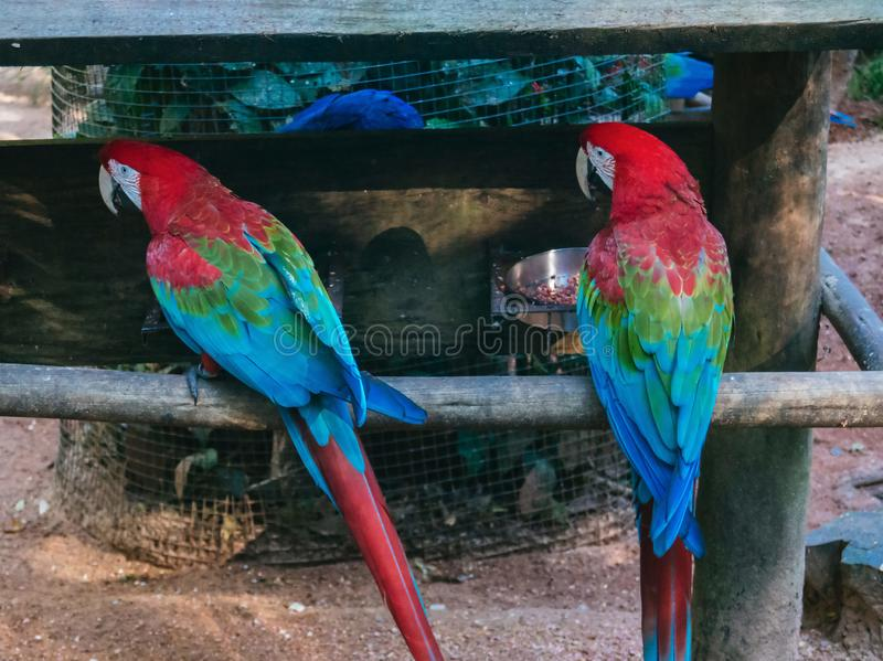 Scarlet Macaws sitting on perch royalty free stock photography
