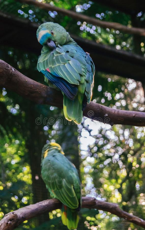Blue and Gold Macaws sitting. Blue and Gold Macaws at Parque das Aves - Foz do Iguacu, Parana, Brazil stock photo