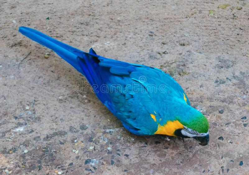 Blue and Gold Macaws sitting. Blue and Gold Macaws at Parque das Aves - Foz do Iguacu, Parana, Brazil stock images