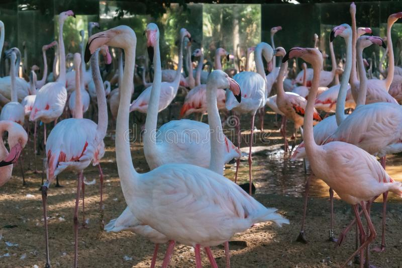 Group of pink flamingos at the bird park stock photography