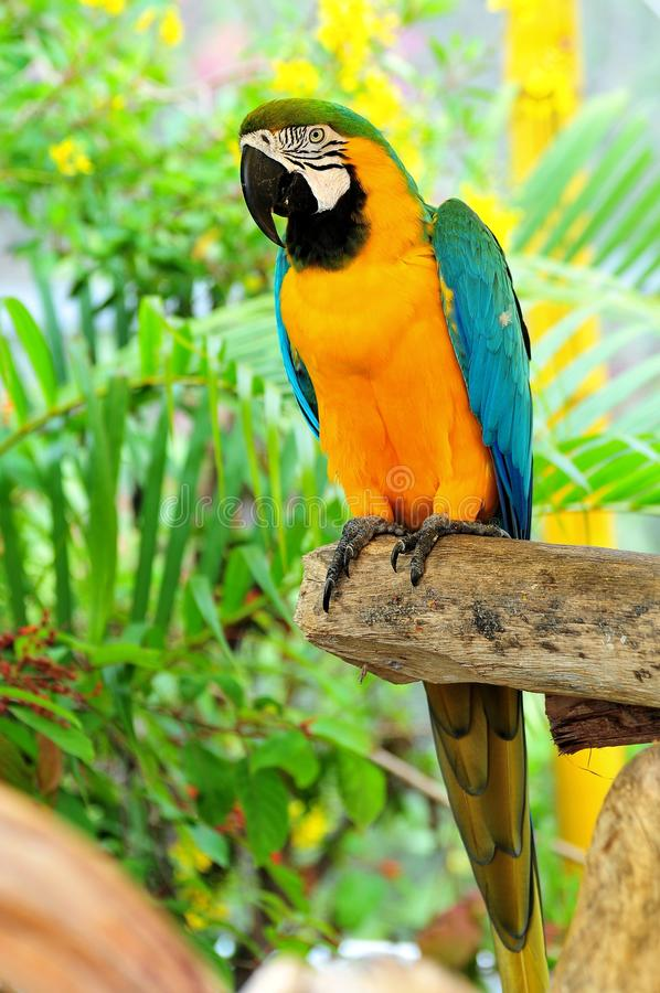 Bird, portrait of a Macaw royalty free stock image