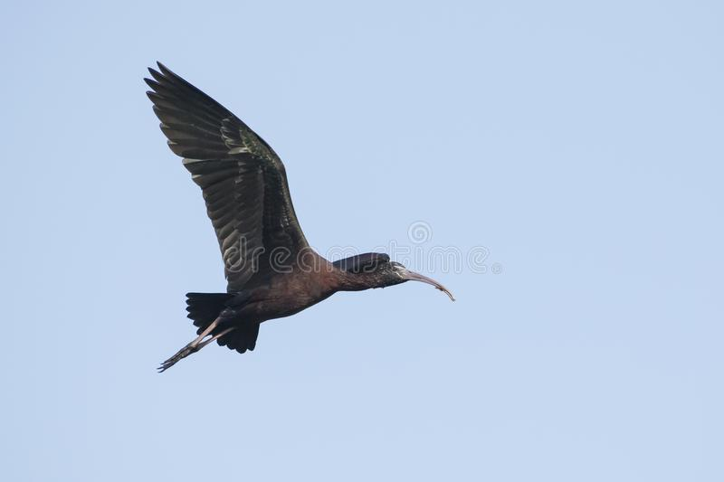 Bird : Portrait of Mature Glossy Ibis in Flight. The glossy ibis is a wading bird in the ibis family,with its long, slender, down-curved bill and magnificent royalty free stock photography