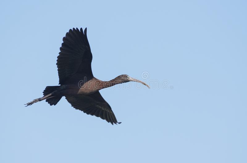Bird : Portrait of Mature Glossy Ibis in Flight. The glossy ibis is a wading bird in the ibis family,with its long, slender, down-curved bill and magnificent royalty free stock photos