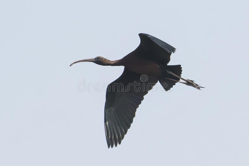Bird : Portrait of Mature Glossy Ibis in Flight royalty free stock photo