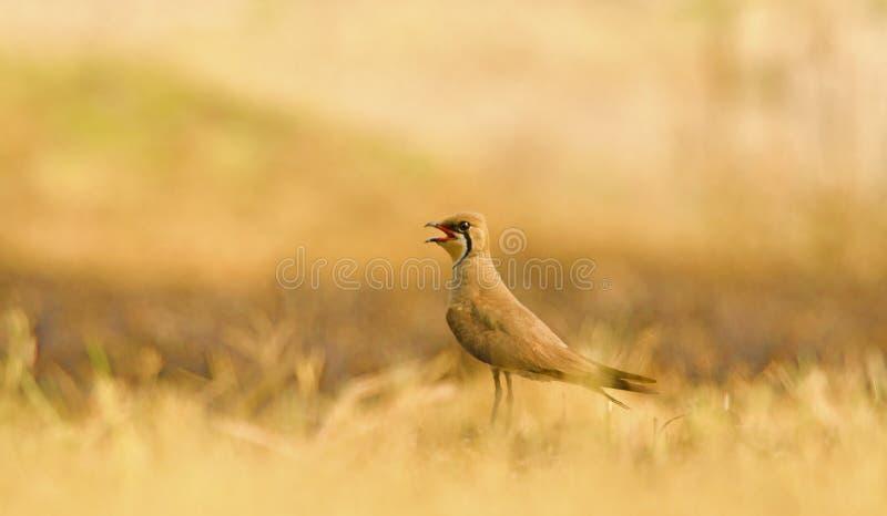 Bird: Pratincole royalty free stock photos