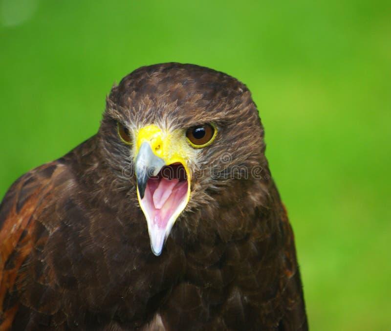 Download Bird of prey stock image. Image of wildlife, bird, hawk - 23947763
