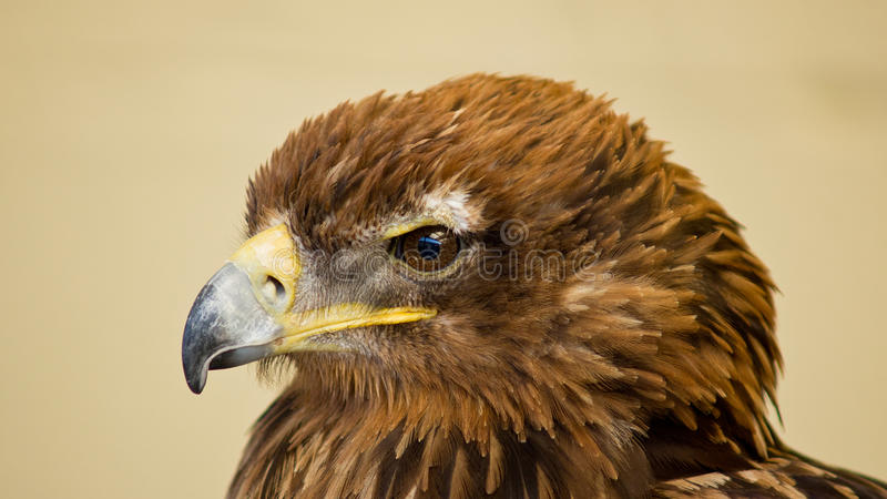 Download Bird of prey stock image. Image of bird, animal, conservation - 26052443