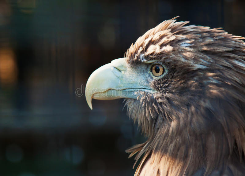 Download Bird of prey stock photo. Image of vision, beak, zoology - 26793724