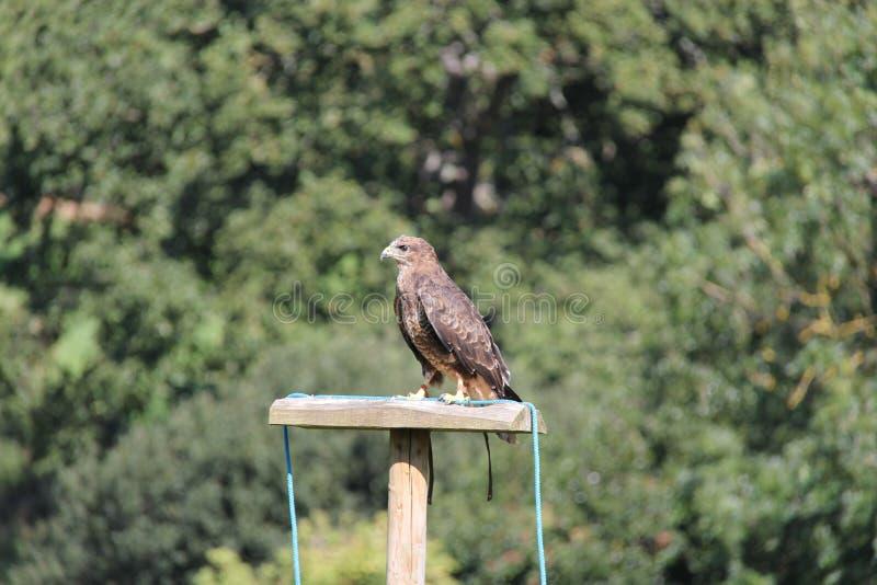 Download Bird of prey stock image. Image of hunter, conservation - 29256419