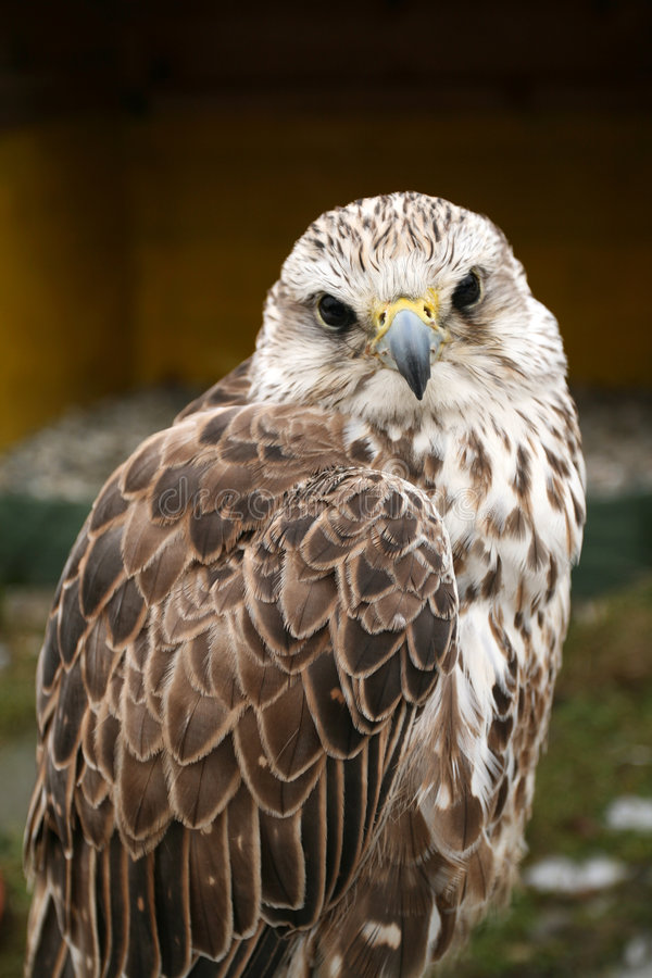 Download Bird of prey stock photo. Image of predator, portrait - 4817462