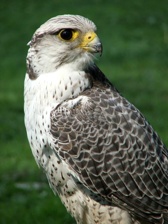 Download Bird of prey stock photo. Image of wild, portrait, hawk - 5121304