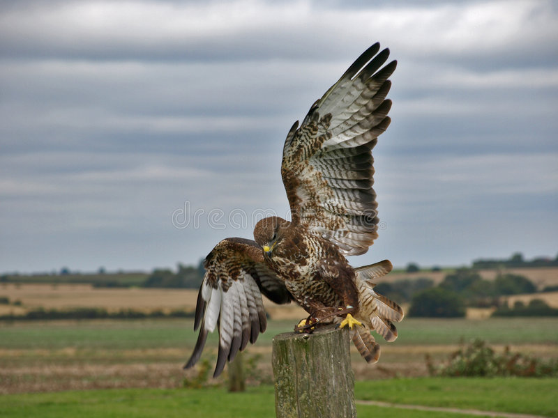 Bird of prey. In flight coming into land royalty free stock photography