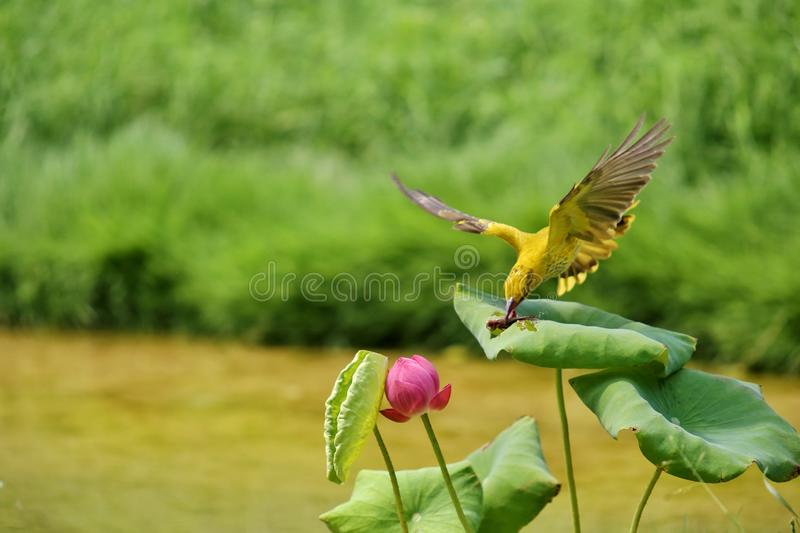 The bird prey in the beautiful lotus bush royalty free stock photos