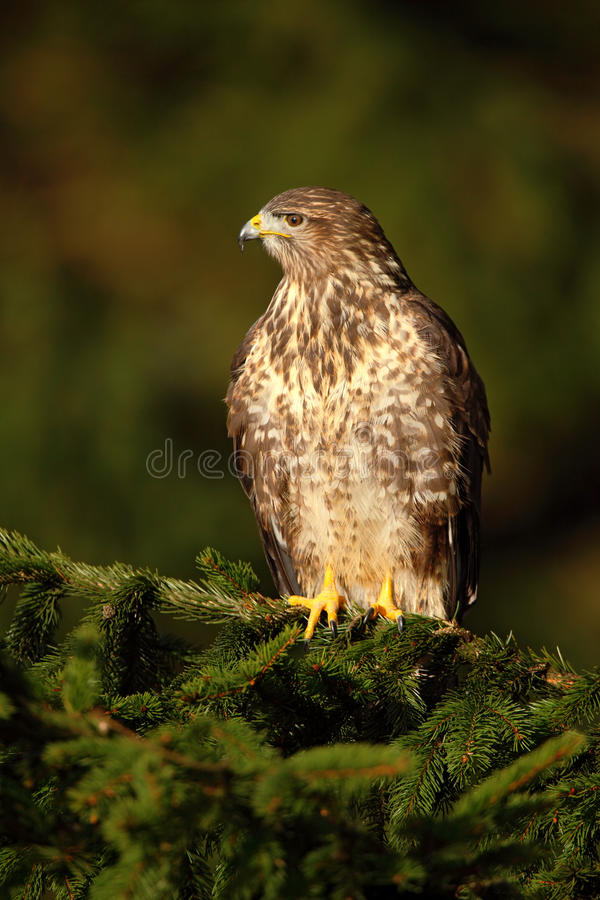 Bird of prey Common Buzzard, Buteo buteo, sitting on coniferous spruce tree branch royalty free stock photography