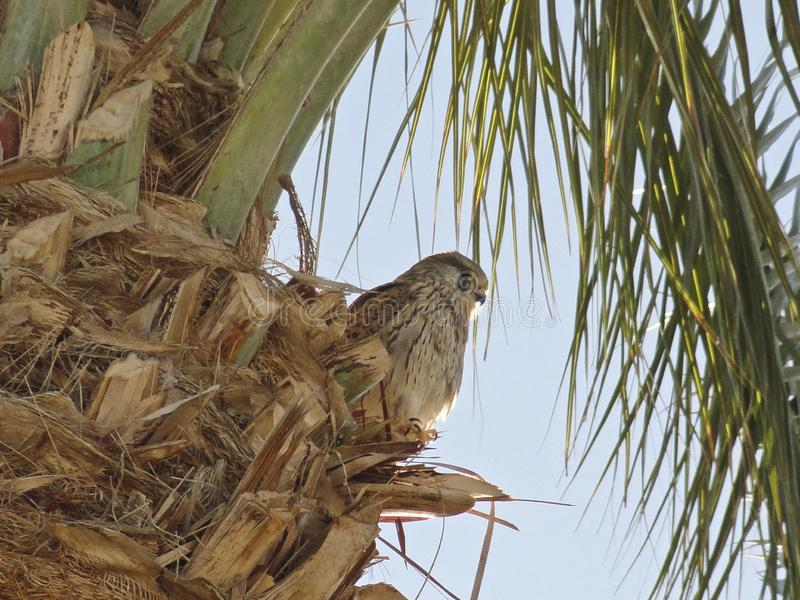 Bird of Prey - Falcon sits on top of a palm tree. And looks out for prey stock images