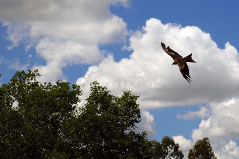 Bird of prey falcon swooping in. Bird of prey family, falcon hunter, fast, precise and avid hunter stock photo