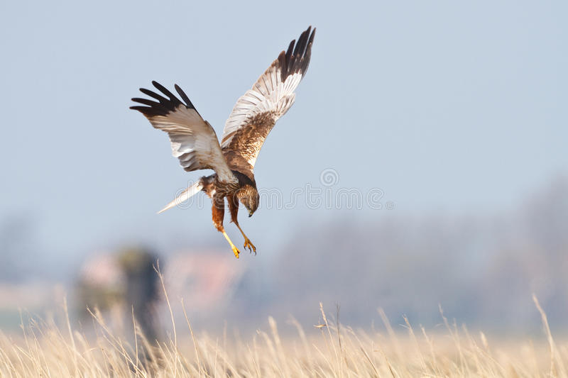Bird of prey in flight royalty free stock photos