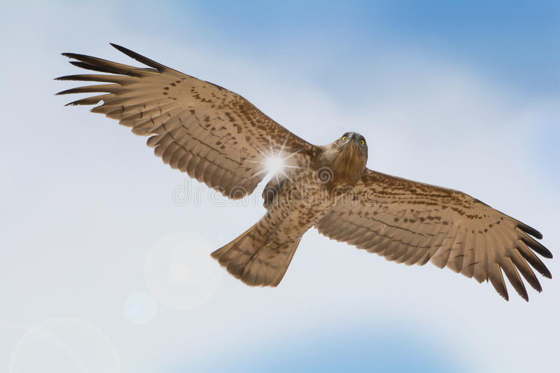Bird of prey in flight on blue sky clouds background. stock images