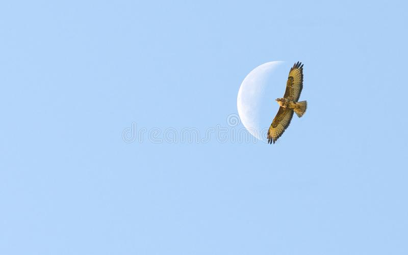 Bird of prey flying to the moon royalty free stock images