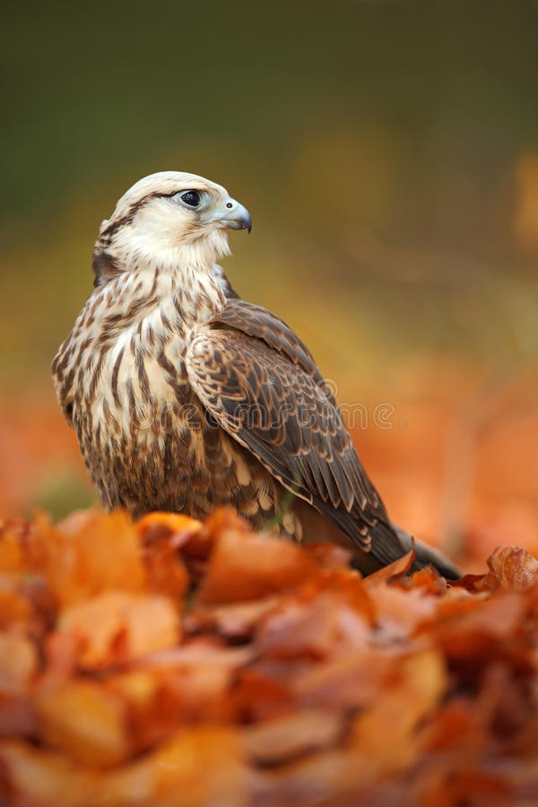 Bird of prey Lanner Falcon with with orange leaves branch in autumn forest royalty free stock photography