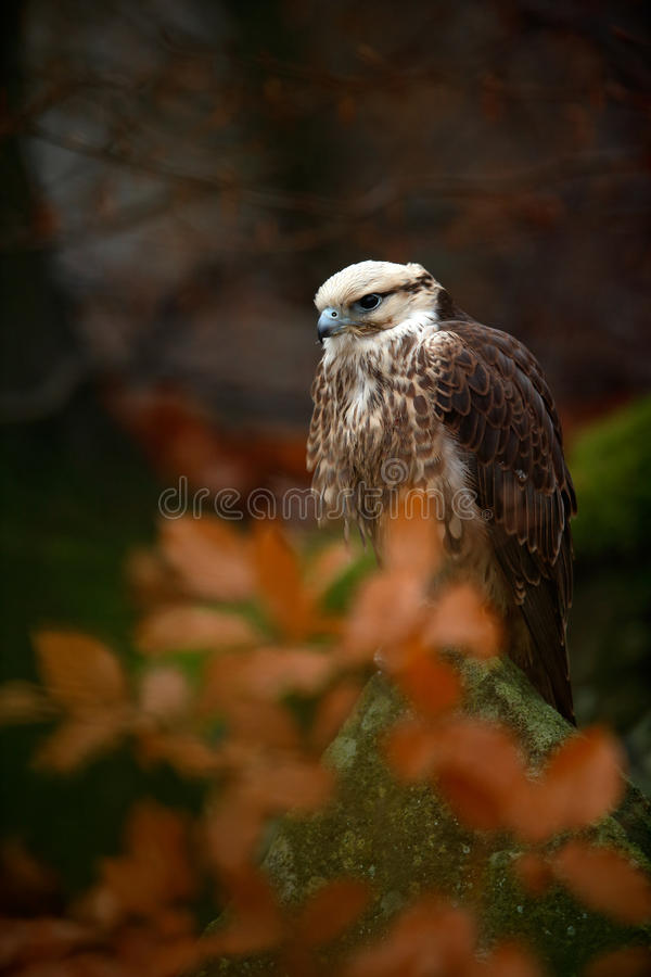 Bird of prey Lanner Falcon with snowflake with orange branch in the autumn forest royalty free stock photo