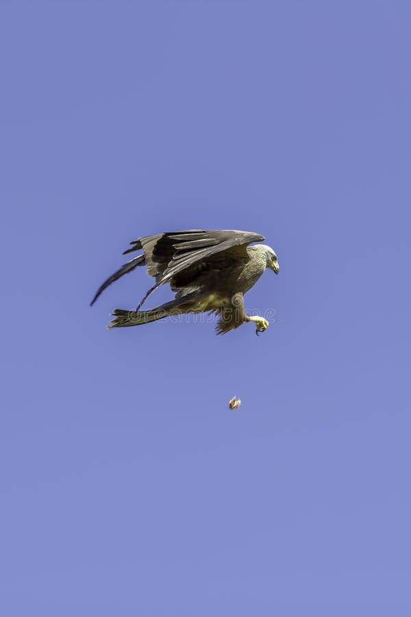 Bird of prey mid-air catch. Skillful red kite feeding display. stock photo
