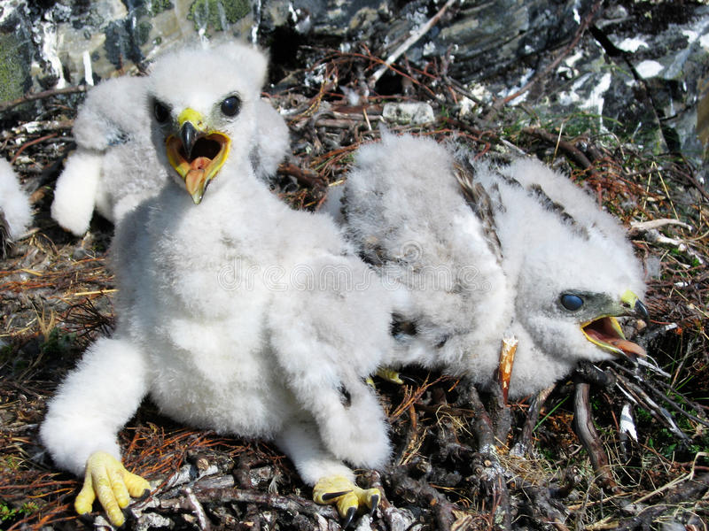 Bird of prey nestlings royalty free stock photos