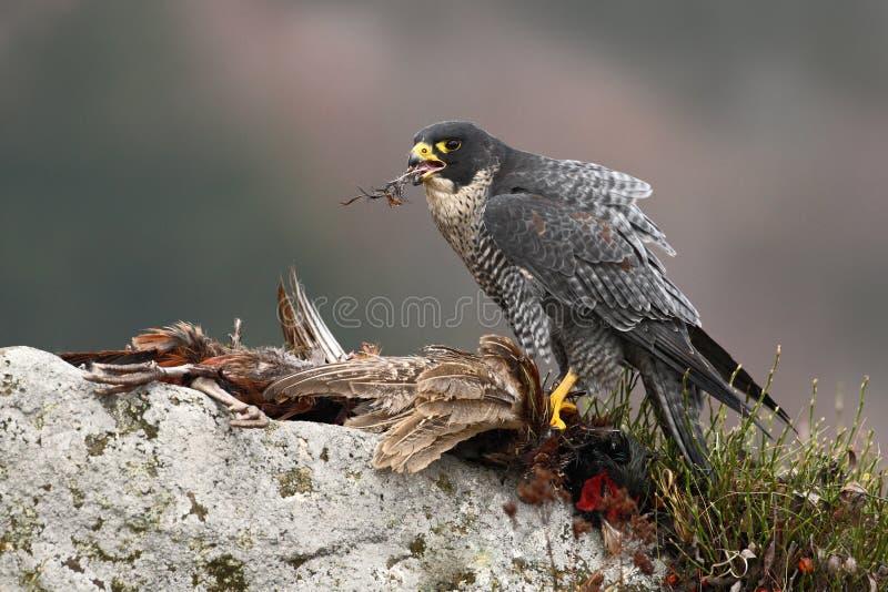 Bird of prey Peregrine Falcon (Falco peregrinus) with kill Common Pheasant on stone royalty free stock photo