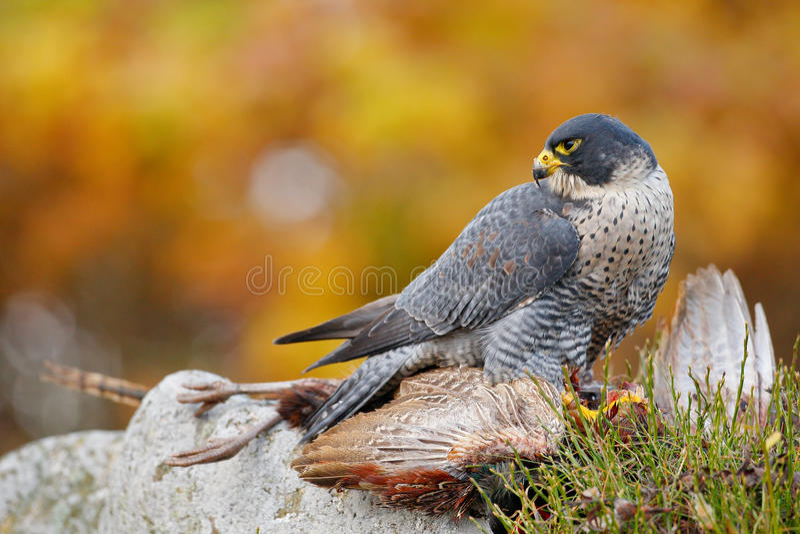 Bird of prey Peregrine Falcon, Falco peregrinus, with kill Common Pheasant on stone. Orange autumn forest in the background. Bird of prey Peregrine Falcon royalty free stock photo