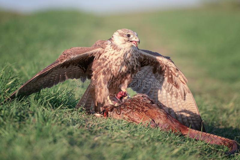 Bird of prey saker falcon falco cherrug with prey, wild nature photography stock photo