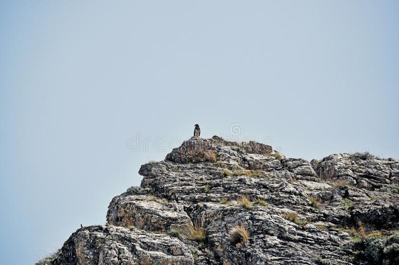 A bird of prey sitting on top of a mountain royalty free stock photo