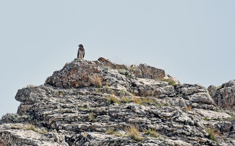 A bird of prey sitting on top of a mountain stock photo
