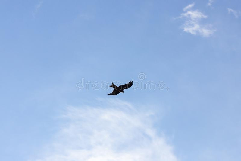 bird of prey on storm clouds flight stock photos