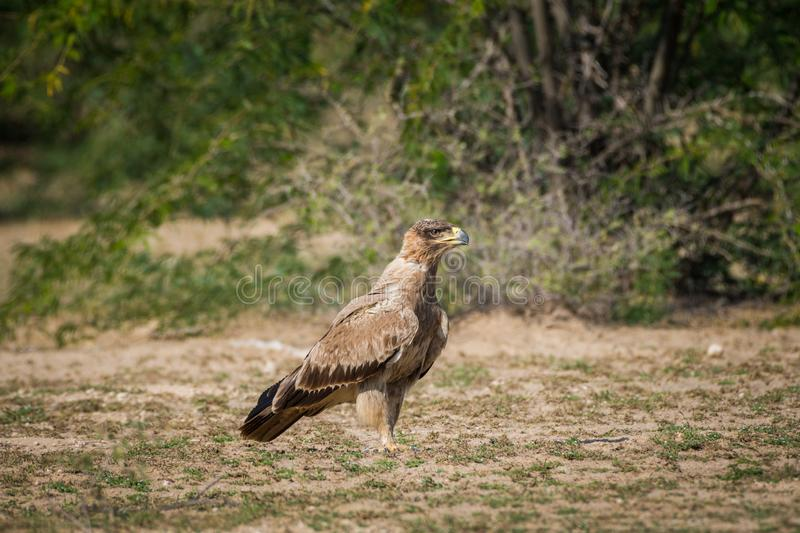 Bird of prey Tawny eagle or Aquila rapax portrait in a green background at tal chappar royalty free stock photo