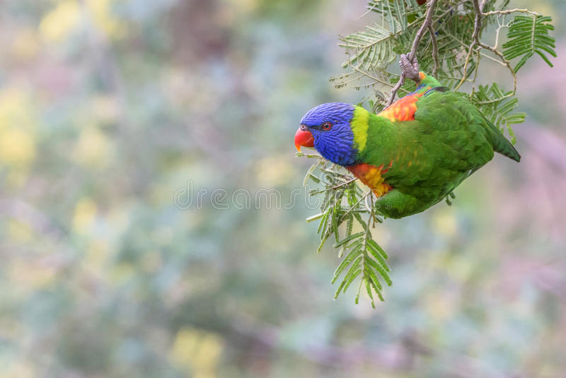 Bird Rainbow Lorikeet& hanging from branch with subtle pastel background stock images
