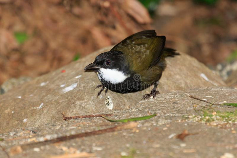 Eastern Whipbird in Australia. This bird is rarely seen out in the open but can be heard across Australian rainforests with its incredible whip crack of a call royalty free stock photo