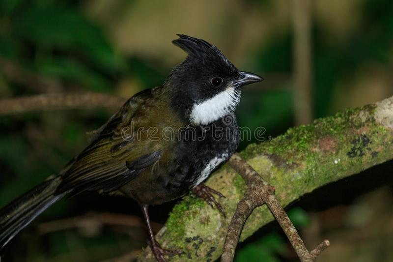 Eastern Whipbird in Australia. This bird is rarely seen out in the open but can be heard across Australian rainforests with its incredible whip crack of a call royalty free stock images