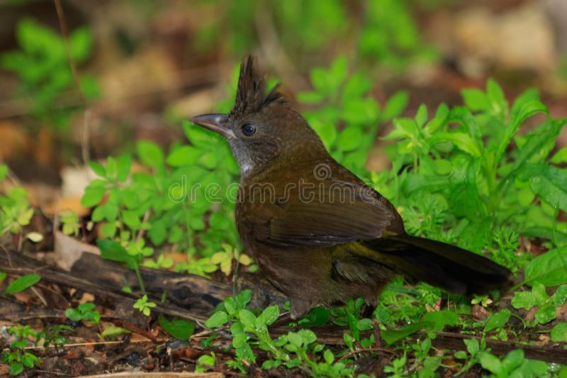 Eastern Whipbird in Australia. This bird is rarely seen out in the open but can be heard across Australian rainforests with its incredible whip crack of a call stock photo