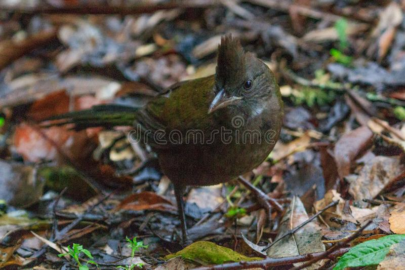 Eastern Whipbird in Australia. This bird is rarely seen out in the open but can be heard across Australian rainforests with its incredible whip crack of a call royalty free stock image