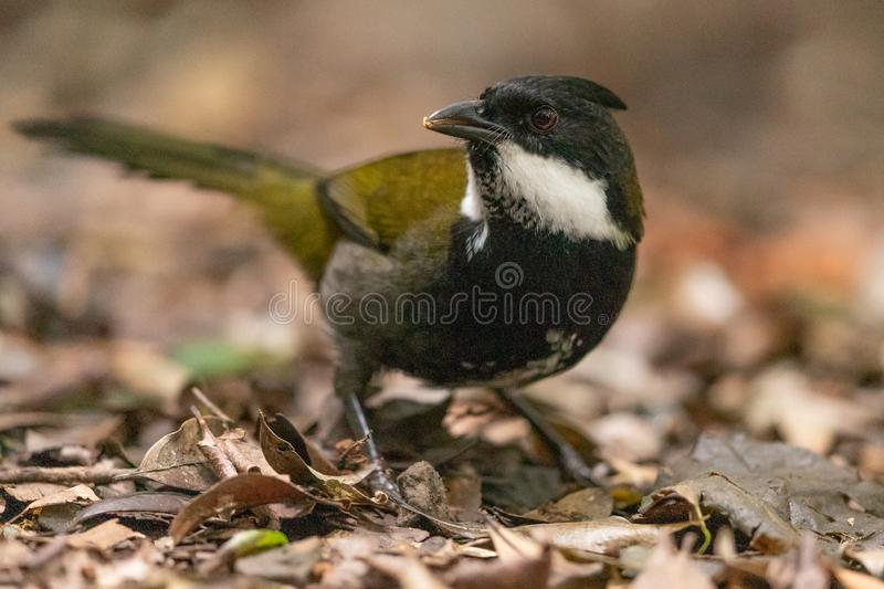Eastern Whipbird in Australia. This bird is rarely seen out in the open but can be heard across Australian rainforests with its incredible whip crack of a call royalty free stock photography