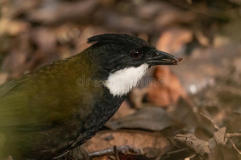 Eastern Whipbird in Australia. This bird is rarely seen out in the open but can be heard across Australian rainforests with its incredible whip crack of a call stock photos