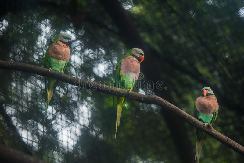 Bird Red-breasted parakeet on branch in the cage. royalty free stock photography