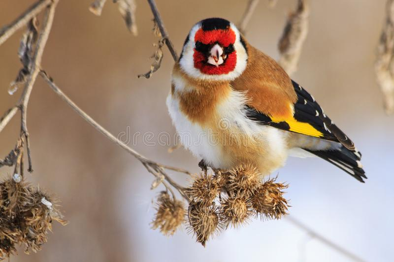 Bird with a red mask sits on a dry plant. Wildlife, winter survival, cold and frost stock images
