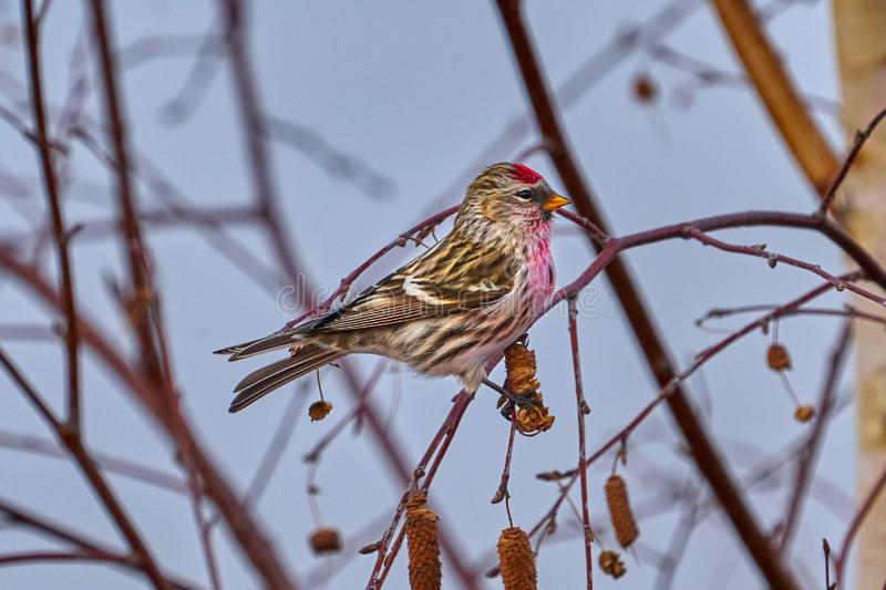 Bird - Redpoll  Acanthis flammea  sitting on a branch of a tree. stock photography