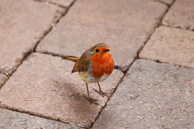 Bird. Robin red breast standing on the the cobblestones stock image