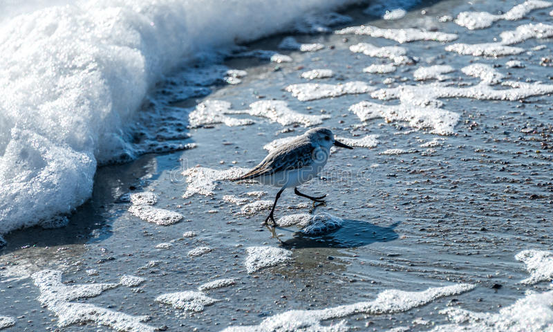 Download Bird Running From Incoming Wave Stock Photo - Image: 83714805