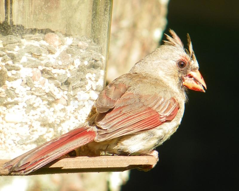 A Bird`s Breakfast Time royalty free stock photography