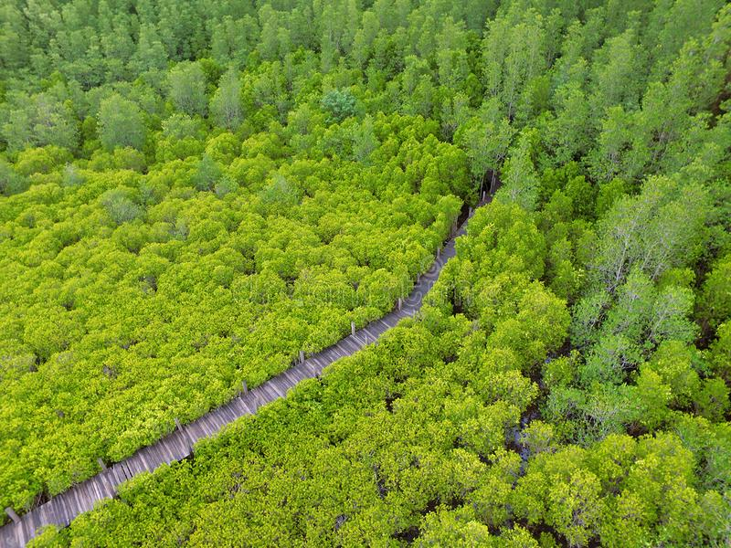 Bird`s Eye View by Drone of Vibrant Green Indian Mangrove Forest with a Long Wooden boardwalk in Rayong province of Thailand stock images
